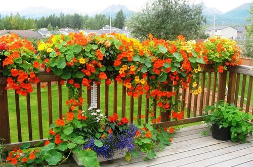 Вьющиеся растения на заборе между участками