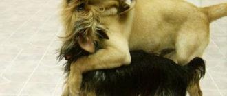 Две собаки воют вместе